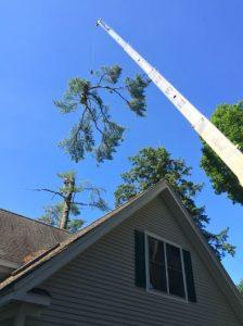 Cutting down Large Pine Tree near House